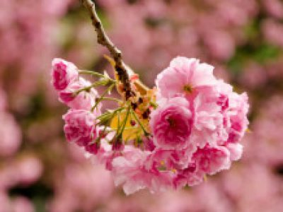 pink-flower_new